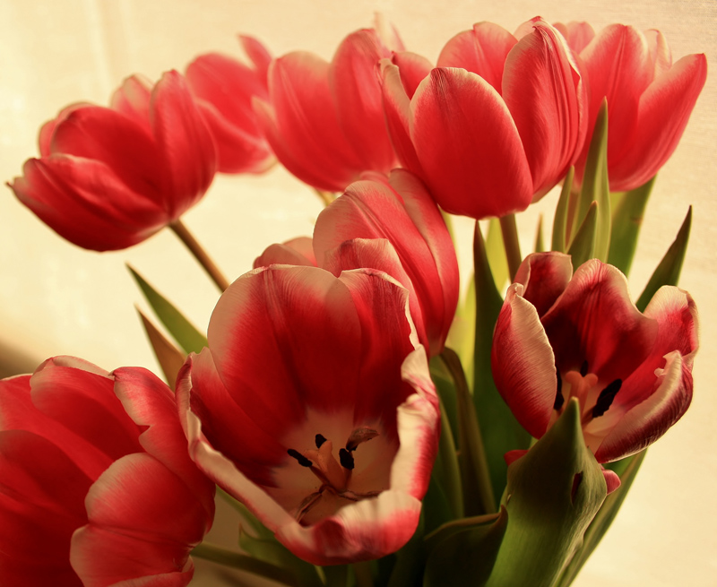 Tulips for Valentine's Day