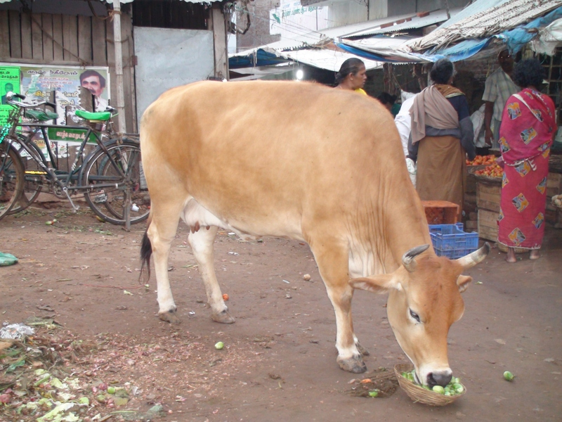 A hungry cow