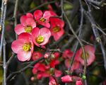 Title: Flowering Quince