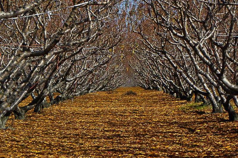 Peach Orchard in November