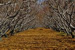 Title: Peach Orchard in NovemberNikon P90