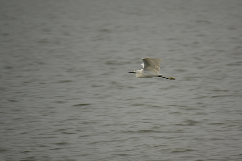 Egret on fly