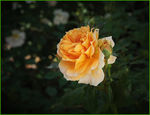Title: YELLOW ROSE