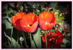 Title: RED TULIPS