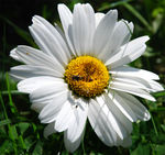 Title: oxeye daisy with Flowerfly