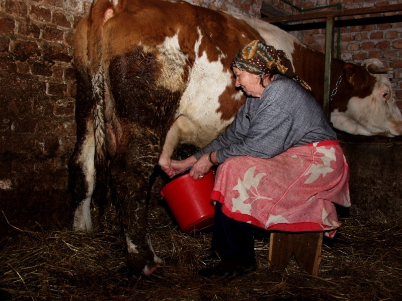The cow and milk