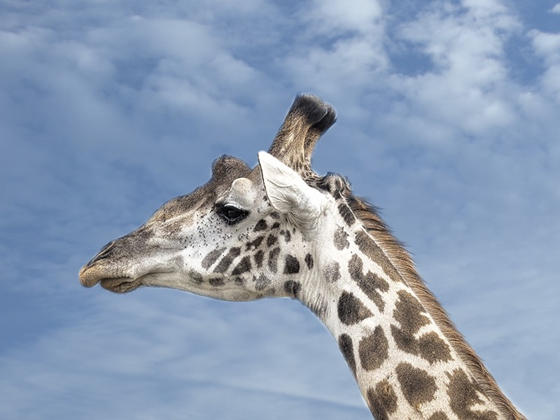 Giraffe against the sky