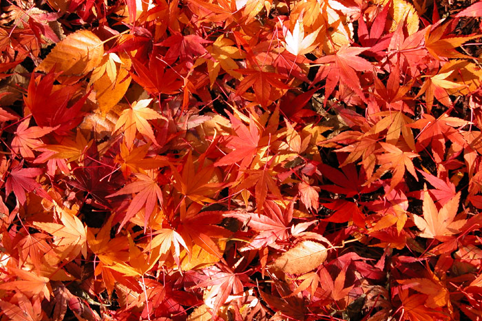 japanese maple leaf tattoo meaning. japanese maple leaf tattoo.