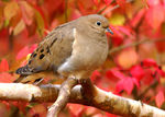 Title: Dove In AutumnSony DSLR A100