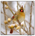 Title: Female Cardinal in the SnowSony DSLR A100