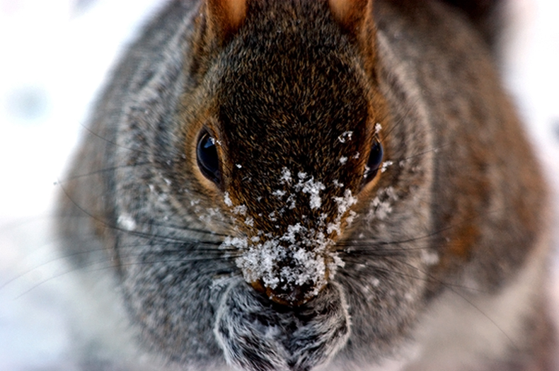 Frosty the  Squirrel