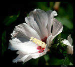 Title: Rose Of Sharon