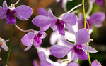 Title: Purple Orchids for Akihisa