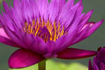Title: Happy Water Lily