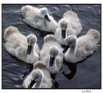 Title: Swan BabiesSony A350