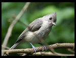 Title: Hungry  Baby Titmouse
