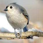 Title: Tufted titmouse on iceSony A350