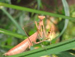 Title: A MantisCanon  Powershot SX10IS