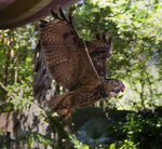 Title: Owl In-Flight