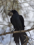 Title: Male Great-Tailed GrackleNikon D7000