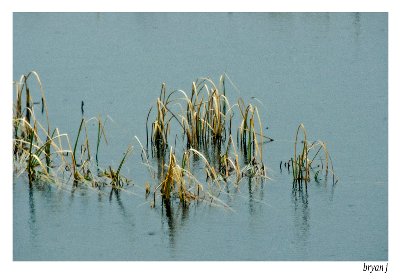 reeds in the loch