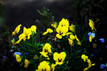 Title: Pansies for YouEOS 5d Mark II