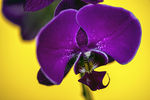 Title: Phalaenopsis OrchidEOS 5d Mark II