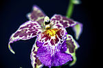 Title: AMAZING ORCHIDEOS 5d Mark II