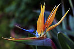 Title: Bird of Paradise 1EOS 5d Mark II