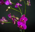 Title: Purple Moth OrchidEOS 5d Mark II