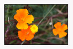Title: California Poppies in OregonCanon EOS Rebel T1i   EOS 500D