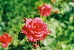 Title: Rose after rainZenit EM