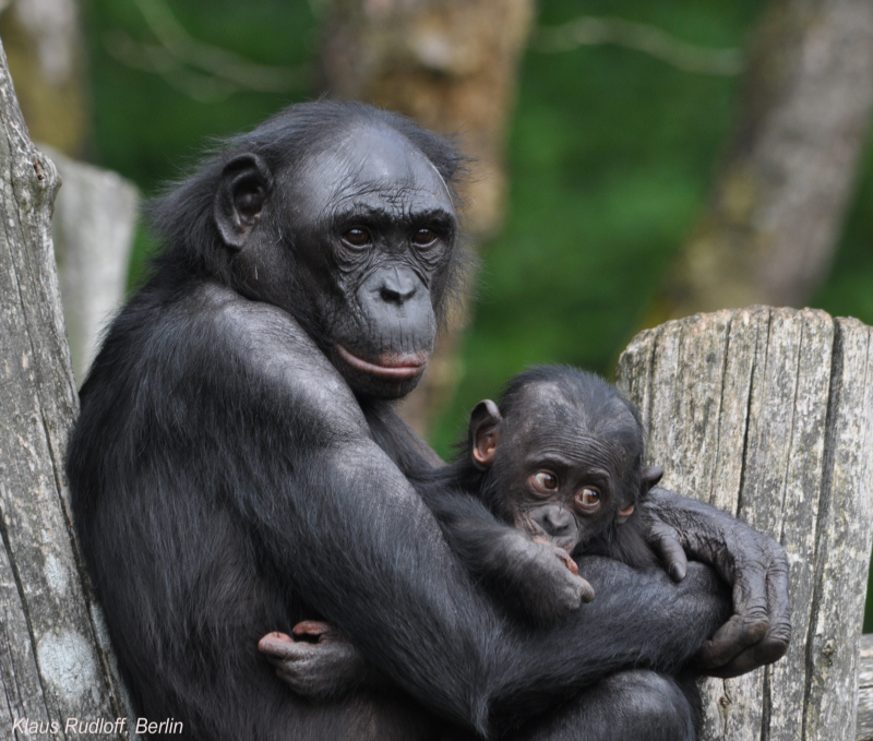 Bonobo mother with baby