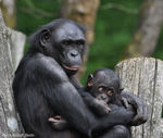 Title: Bonobo mother with babyNikon D-90