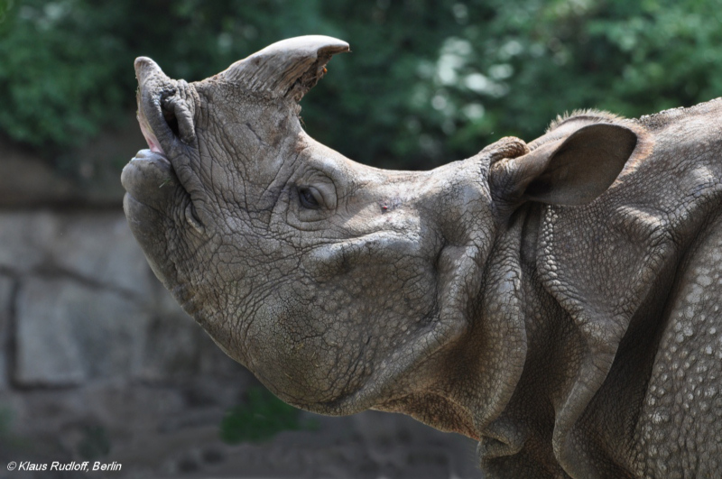 Indian Rhinoceros bull