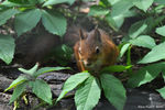 Title: Red SquirrelNikon D-90