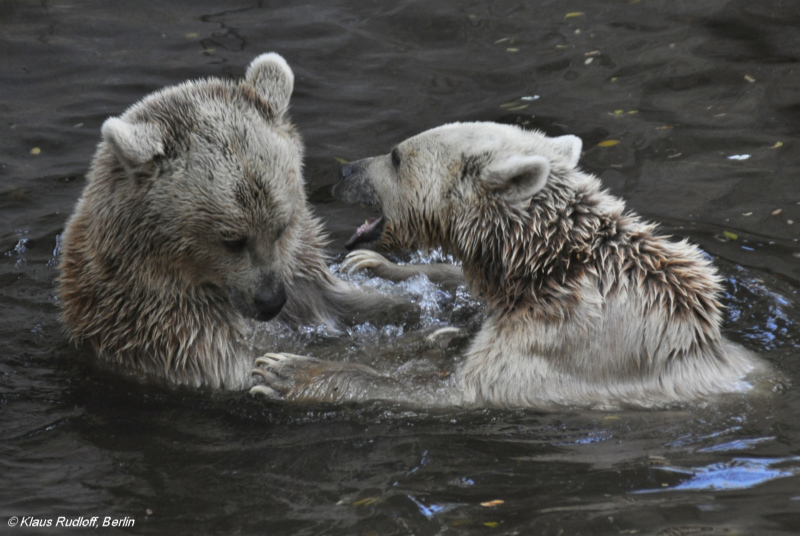 Playing Syrian Brown Bears