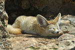 Title: Sleeping Fennec Fox