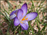 Title: Crocus means it's Spring :)