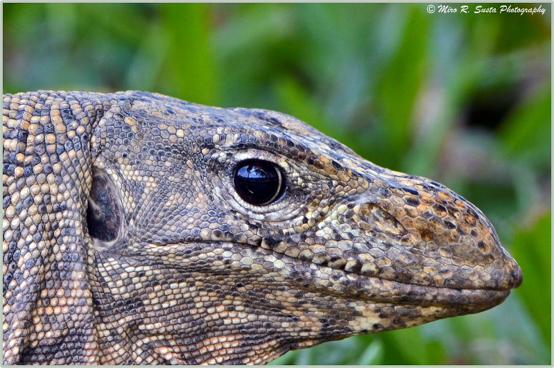 Malaysian Water Monitor Lizard