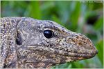 Title: Malaysian Water Monitor LizardNikon D600