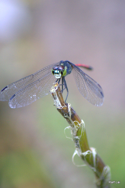 Rapport with Dragonfly