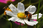 Title: Bee on a Daisy Flower