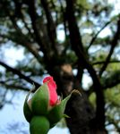 Title: When I grow up: Big dreams of a RoseCanon Powershot SX120 IS