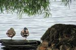 Title: Ducks doing YogaCanon Powershot SX120 IS
