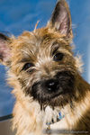Title: Puppy Cairn TerrierNikon D300 with MBD10