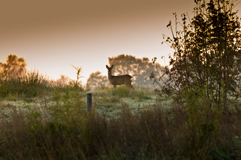 Deer in the morning