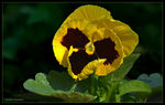 Title: Pansy