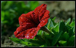 Title: The Red Petunia