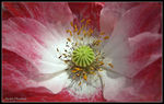 Title: The Poppy